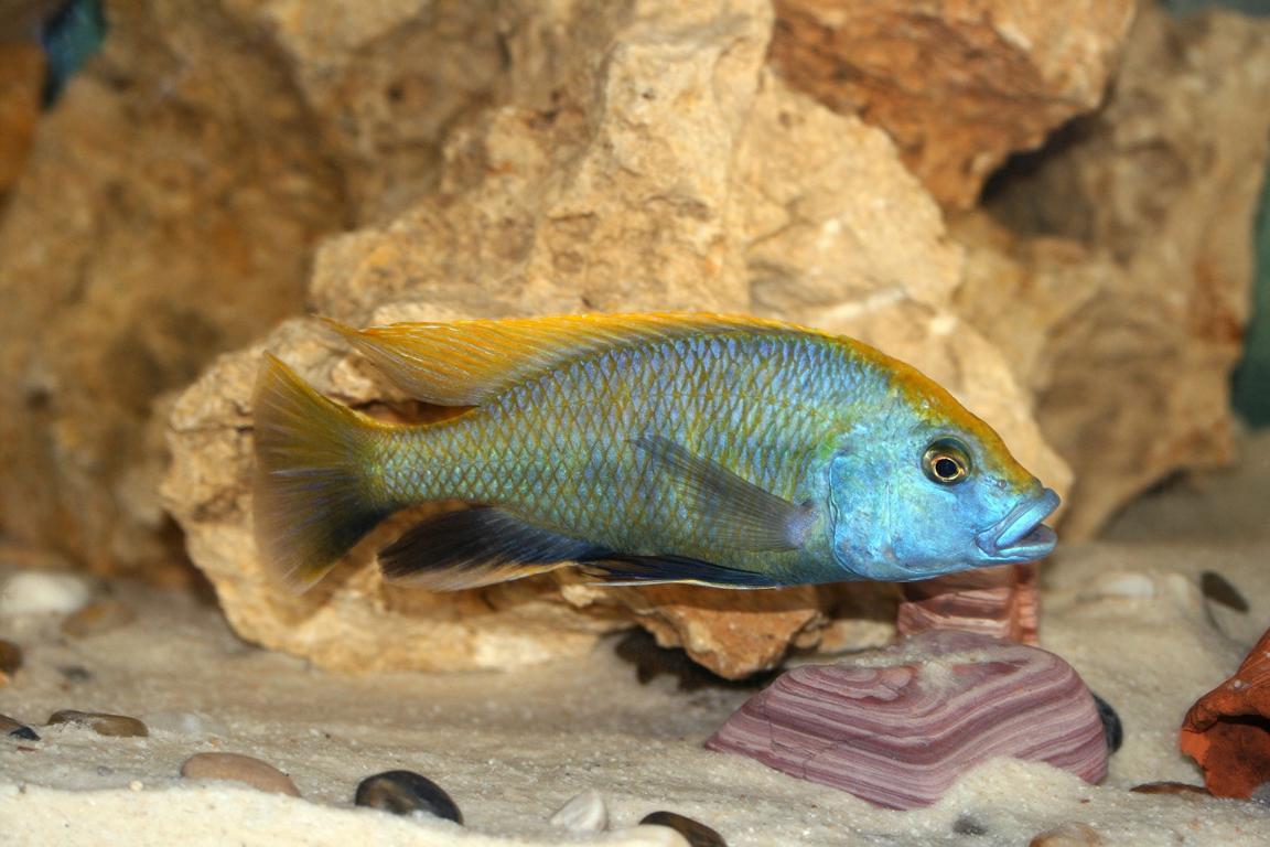 Ein Malawifisch als Symbol für unser Impressum